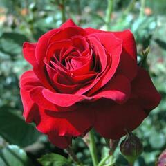 Růže mnohokvětá Poulsen 'Nina Weibull' - Rosa MK 'Nina Weibull'