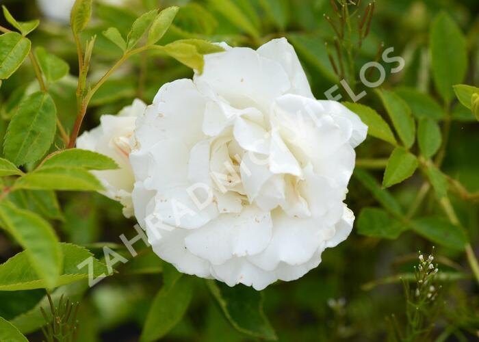 Růže mnohokvětá 'Snoevit' - Rosa MK Potěšení 'Snoevit'