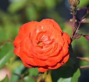 Růže mnohokvětá 'Orei Cocken' - Rosa MK 'Orei Cocken'