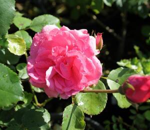 Růže mnohokvětá 'Floribunda' - Rosa MK 'Floribunda'