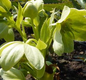 Čemeřice korsická - Helleborus argutifolius