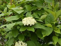 Kalina zkřížená - Viburnum carlcephalum