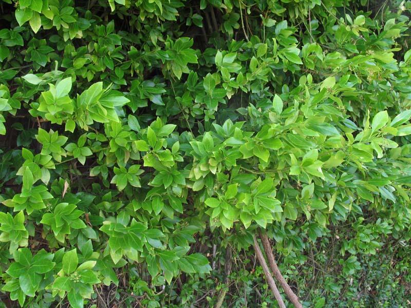 Brslen Fortuneův - Euonymus fortunei
