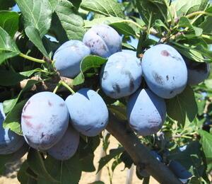 Pološvestka - raná 'Čačanská lepotica' - Prunus domestica 'Čačanská lepotica'