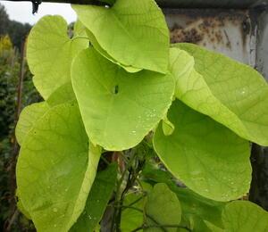 Podražec velkolistý - Aristolochia macrophylla