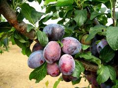 Pološvestka - raná 'Carpatin' - Prunus domestica 'Carpatin'