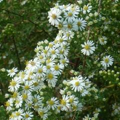 Hvězdnice vřesovcová 'Golden Spray' - Aster ericoides 'Golden Spray'