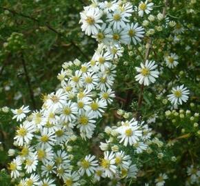 Hvězdnice vřesovcová 'Golden Spray' - Aster ericoides 'Golden Spray'