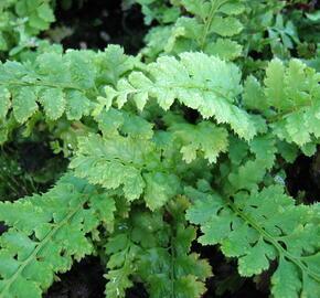 Kapradina štětinonosná - Polystichum setiferum
