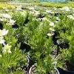 Sasanka 'Annabella White' - Anemone multifida 'Annabella White'