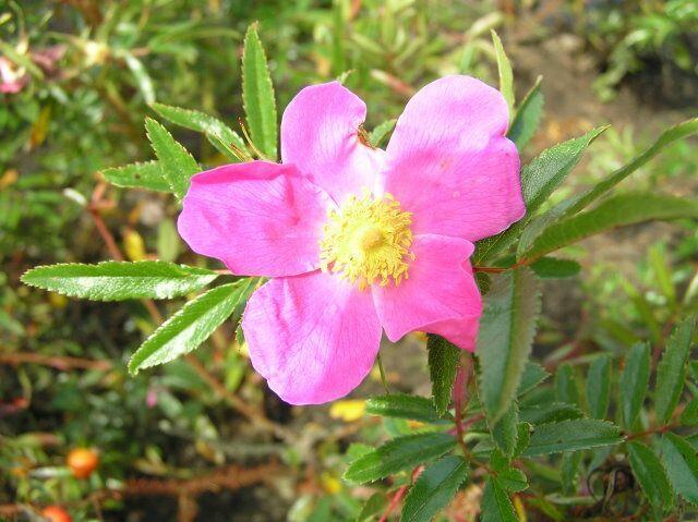 Růže rugotida - Rosa rugotida