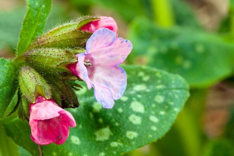Plicník 'Roy Davidson' - Pulmonaria longifolia 'Roy Davidson'
