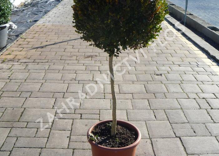 Zimostráz obecný - Buxus sempervirens - 1 koule na kmínku