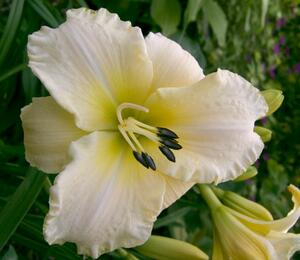 Denivka 'Arctic Snow' - Hemerocallis 'Arctic Snow'