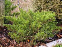 Jalovec prostřední 'Mint Julep' - Juniperus media 'Mint Julep'