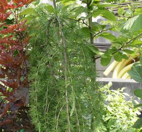 Modřín opadavý 'Pendula' - Larix decidua 'Pendula'