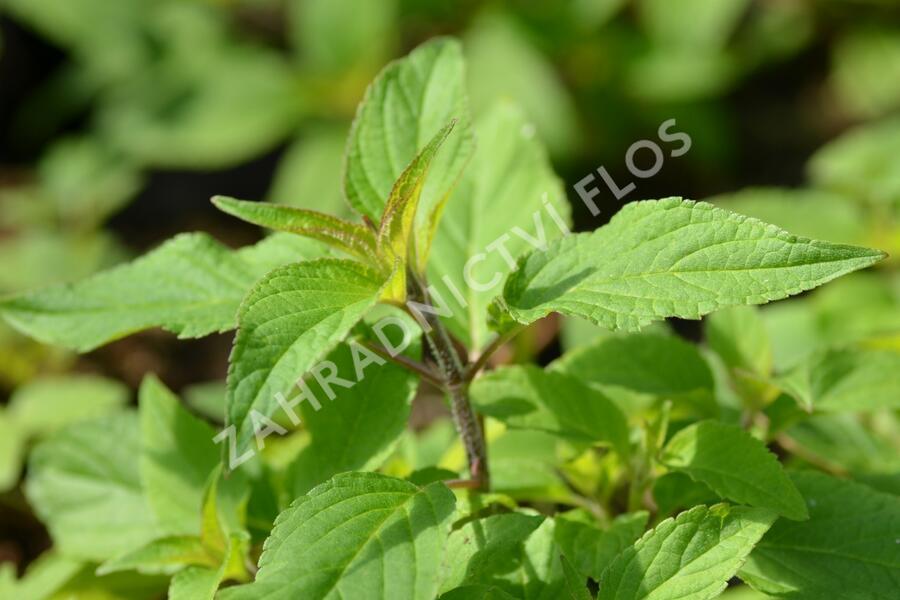 Šalvěj ananasová 'Ananassalbei' - Salvia rutilans 'Ananassalbei'