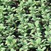 Šalvěj lékařská 'Grower's Friend' - Salvia officinalis 'Grower's Friend'