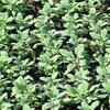 Šalvěj lékařská 'Growers' - Salvia officinalis 'Growers'