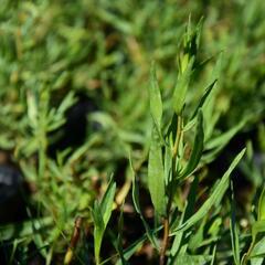 Pelyněk estragon - Artemisia dracunculus