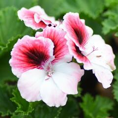 Muškát, pelargonie velkokvětá 'Aristo Darling' - Pelargonium grandiflorum 'Aristo Darling'