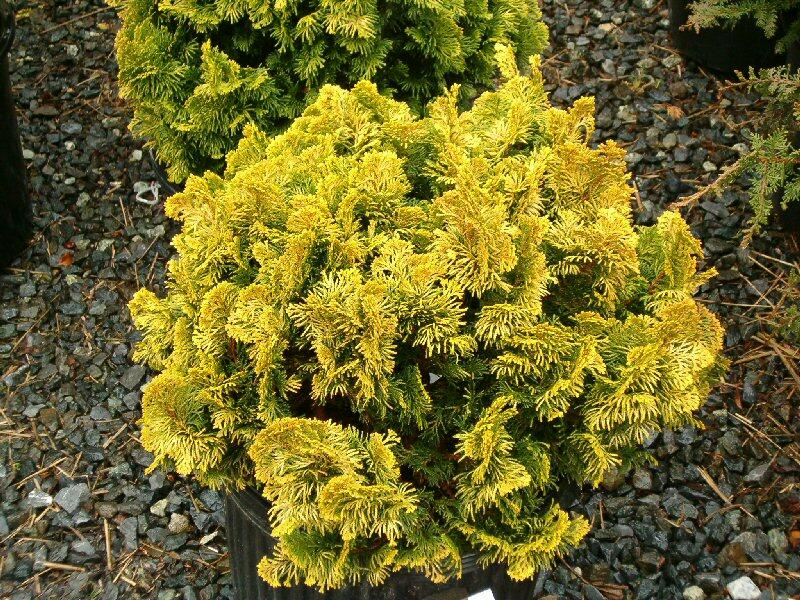 Cypřišek tupolistý 'Nana Aurea' - Chamaecyparis obtusa 'Nana Aurea'