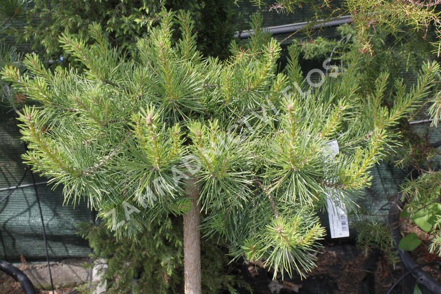 Borovice lesní 'Hillside Creeper' - Pinus sylvestris 'Hillside Creeper'