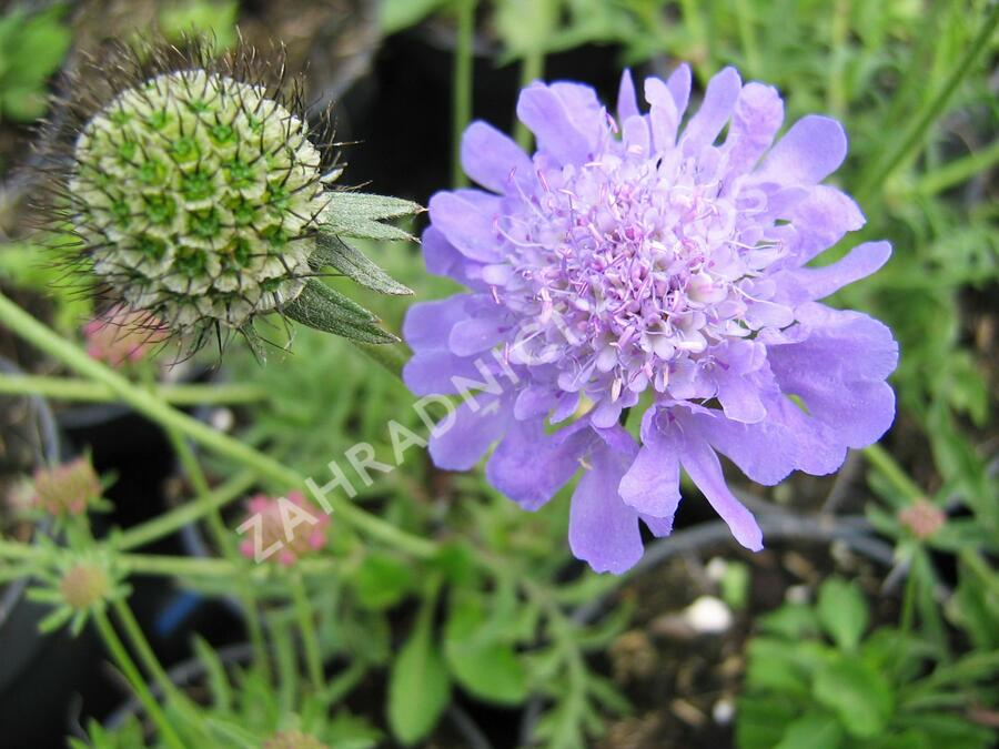 Hlaváč 'Blue Diamonds' - Scabiosa columbaria 'Blue Diamonds'