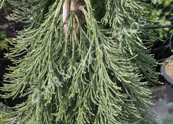Sekvojovec obrovský 'Pendulum' - Sequoiadendron giganteum 'Pendulum'