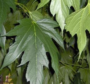 Morušovník platanolistý - Morus platanifolia