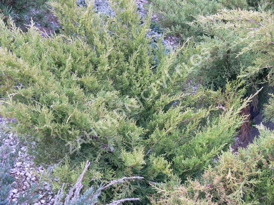 Jalovec prostřední 'Old Gold' - Juniperus media 'Old Gold'