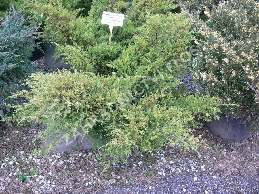 Jalovec prostřední 'Old Gold' - Juniperus media 'Old Gold'