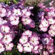 Plamenka latnatá 'Sweet Summer Purple White' - Phlox paniculata 'Sweet Summer Purple White'
