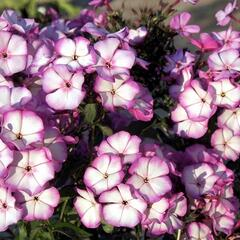 Plamenka latnatá 'Sweet Summer Purple White' - Phlox paniculata 'Sweet Summer Purple White'