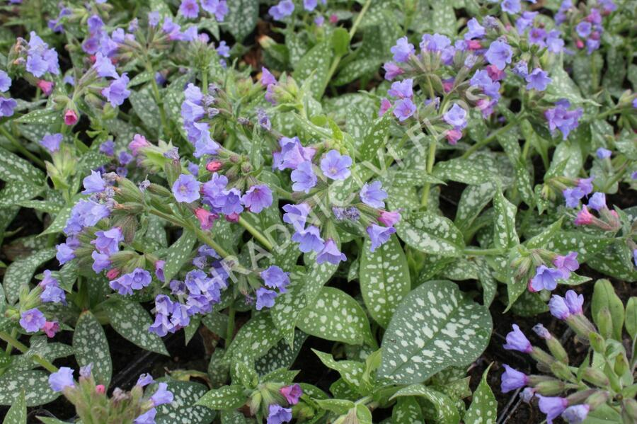 Plicník 'Trevi Fountains' - Pulmonaria x hybrida 'Trevi Fountains'