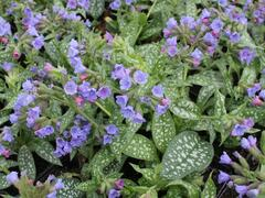 Plicník 'Trevi Fountains' - Pulmonaria hybrida 'Trevi Fountains'