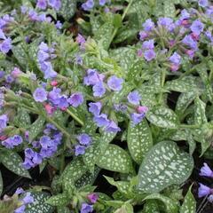 Plicník 'Trevi Fountains' - Pulmonaria hybrida 'Trevi Fountains'