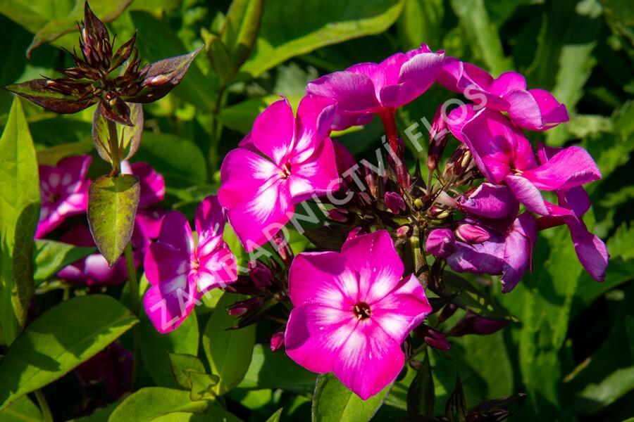 Plamenka latnatá 'Sweet Summer Violet White' - Phlox paniculata 'Sweet Summer Violet White'