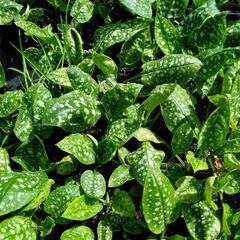 Plicník 'Sissinghurst White' - Pulmonaria officinalis 'Sissinghurst White'