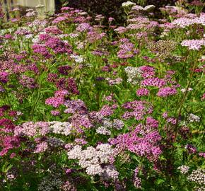 Řebříček obecný 'Kirschkönigin' - Achillea millefolium 'Kirschkönigin'