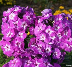 Plamenka latnatá 'Adessa Special Purple Star' - Phlox paniculata 'Adessa Special Purple Star'