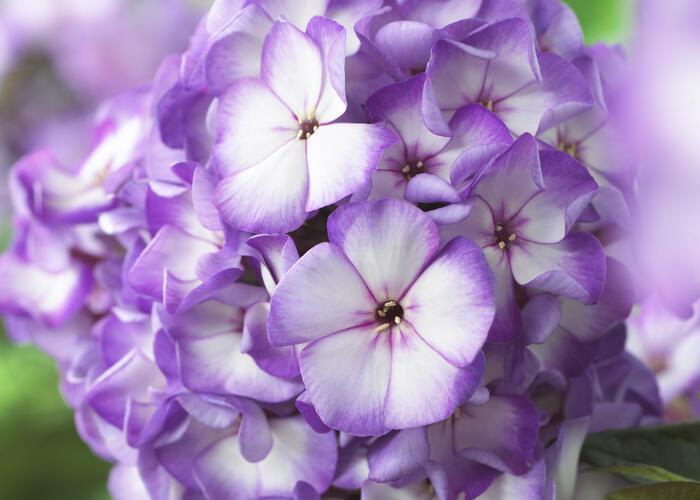 Plamenka latnatá 'Sweet Summer Purple Bicolor' - Phlox paniculata 'Sweet Summer Purple Bicolor'