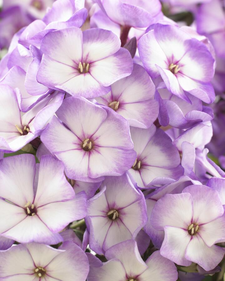 Plamenka latnatá 'Sweet Summer Purple Bicolor' - Phlox paniculata 'Sweet Summer Purple Bicolor'