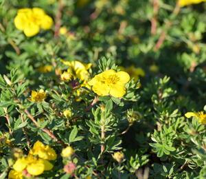 Mochna křovitá 'Goldteppich' - Potentilla fruticosa 'Goldteppich'