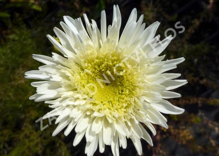 Kopretina velkokvětá 'Fiona Coghill' - Leucanthemum x superbum 'Fiona Coghill'