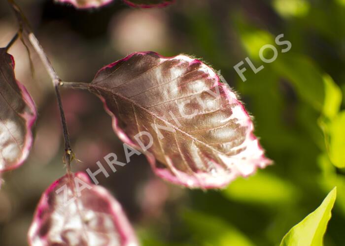 Buk lesní 'Purpurea Tricolor' - Fagus sylvatica 'Purpurea Tricolor'