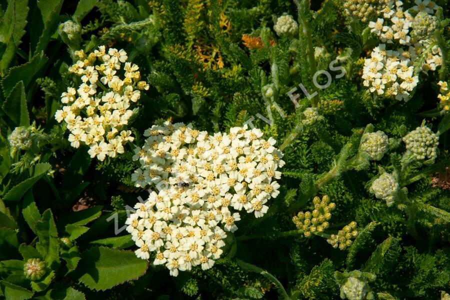 Řebříček obecný 'Desert Eve Cream' - Achillea millefolium 'Desert Eve Cream'