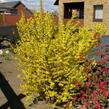 Zlatice prostřední 'Minigold' - Forsythia intermedia 'Minigold'