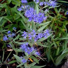 Ořechokřídlec clandonský 'Blau Donau' - Caryopteris clandonensis 'Blau Donau'