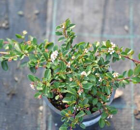 Skalník 'Eichholz' - Cotoneaster radicans 'Eichholz'